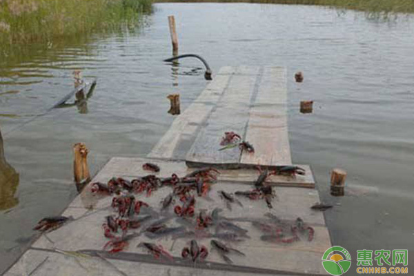 小龙虾养殖管理