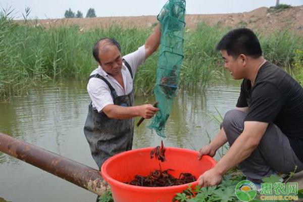 小龙虾养殖技术要点