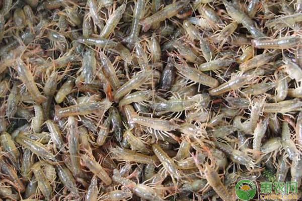 小龙虾苗种用药