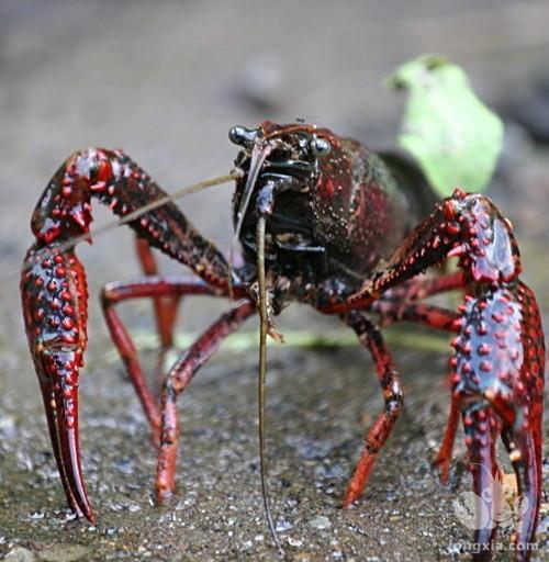 淡水小龙虾放养时应该注意的六个事项