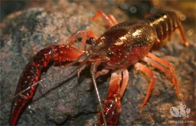 各种杂鱼的存在,对虾塘是否有 影响,对小龙虾的生长是否有害?