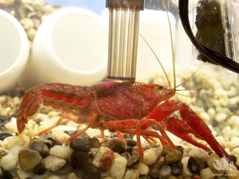 在养殖小龙虾的时候需要设置料台,这么做有什么意义?