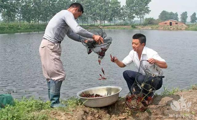 在池塘养殖小龙虾中掌握这8大关,保证你能赚大钱!