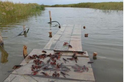 养小龙虾风险有多大?