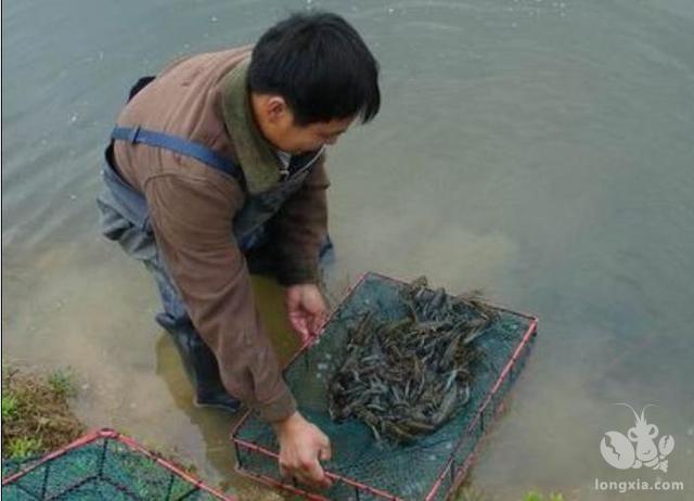 淡水小龙虾4个重要的养殖技巧,你都掌握了吗?
