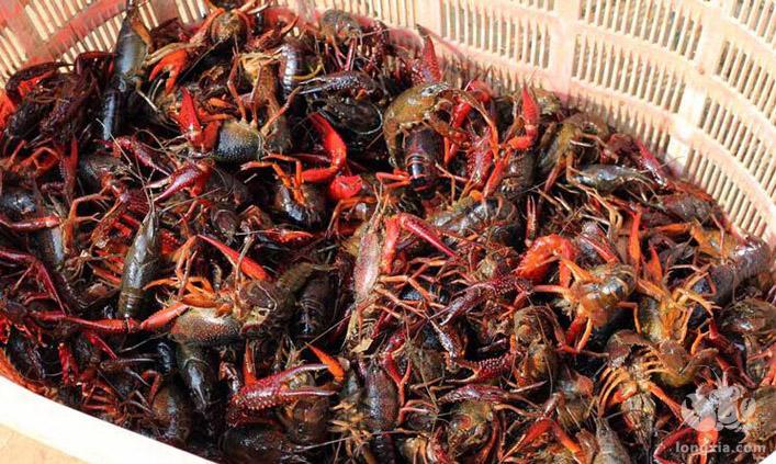 6个有关淡水小龙虾放养时的注意事项,这些你都知道吗?