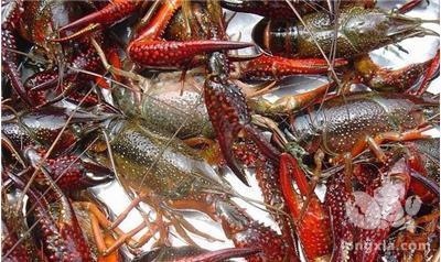 近几年小龙虾养殖成本逐渐走高的3个主要原因