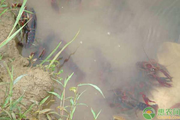 冬季小龙虾池塘管理细节汇总