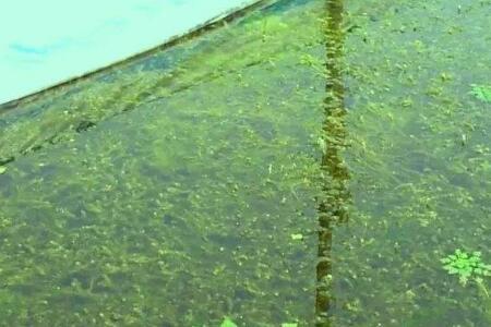 小龙虾池塘漂浮在上面的水草