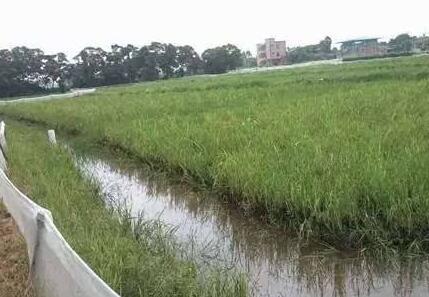 稻田养殖小龙虾水位要怎么保持?